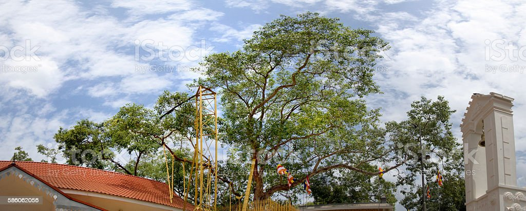 Sacred Buddhist Maha Bodhi tree, Sri Lanka, gps tagged stock photo