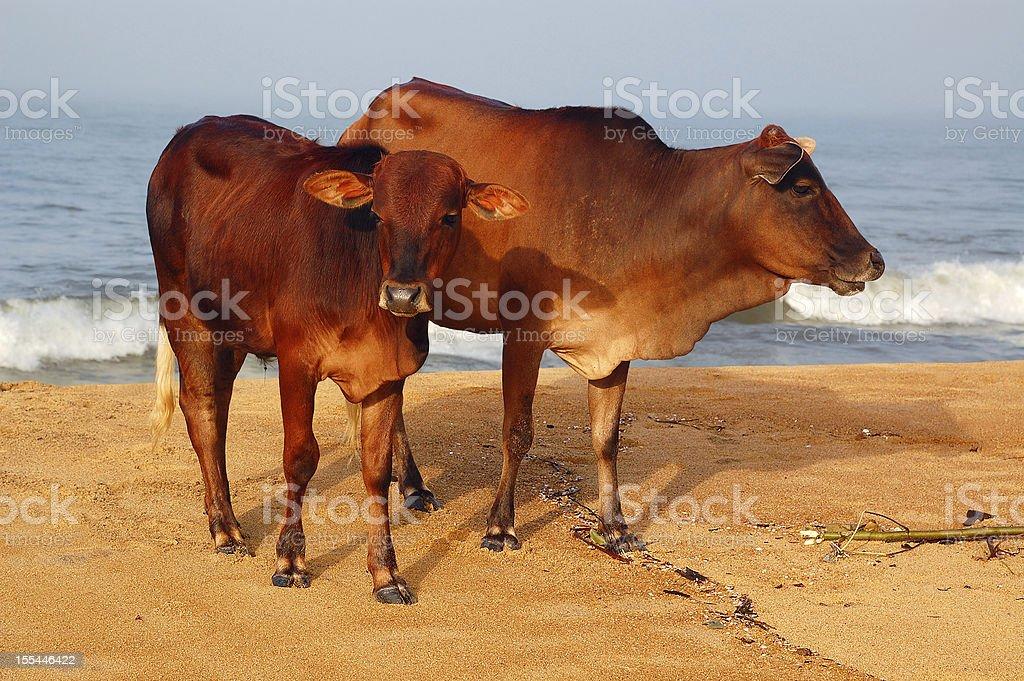 Sacred Cow and Calf stock photo