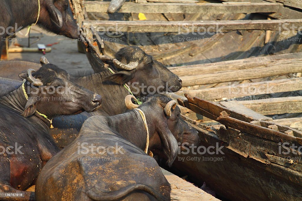 Sacred Cow in India royalty-free stock photo