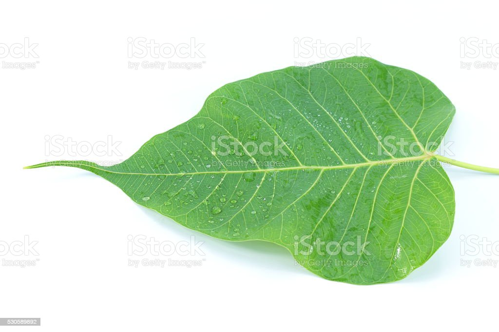 Sacred Fig on  white background stock photo