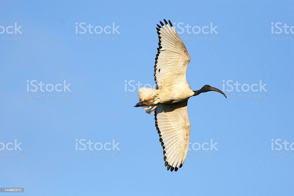Sacred Ibis stock photo