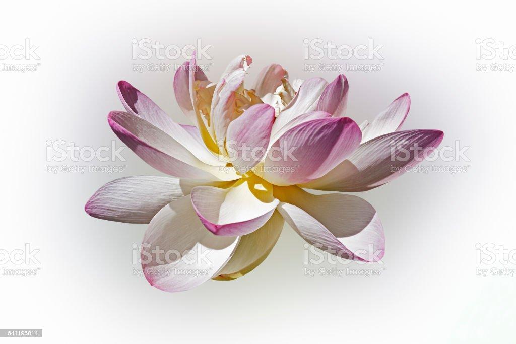 Sacred lotus flower stock photo