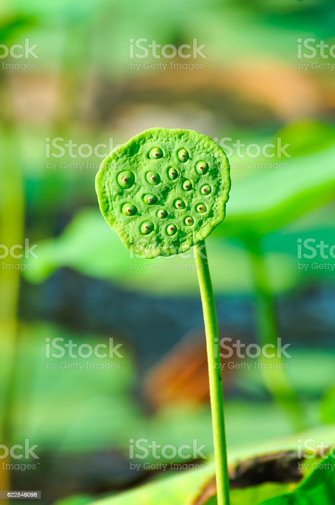 Sacred lotus -NELUMBO NUCIFERA seedpod stock photo