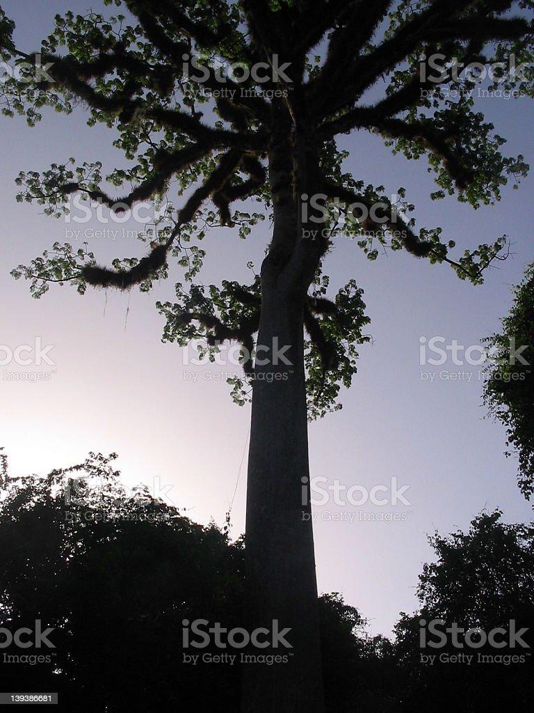 Sacred mayan tree, Ceiba royalty-free stock photo