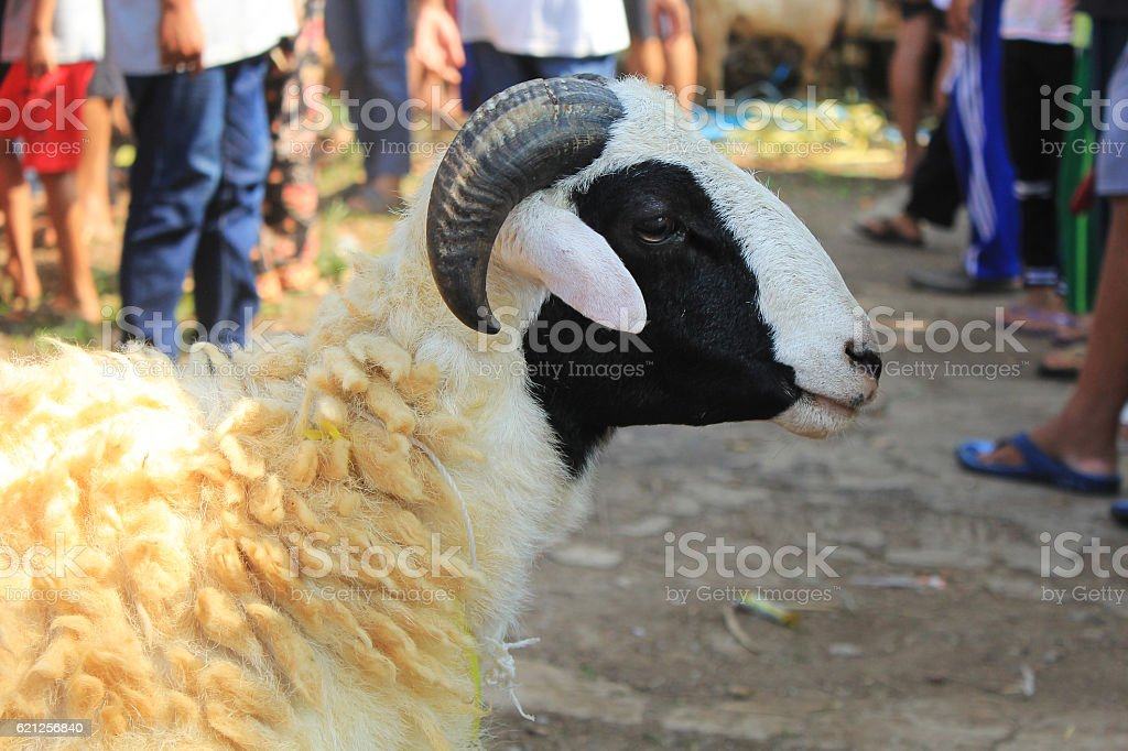 sacrifice sheep stock photo