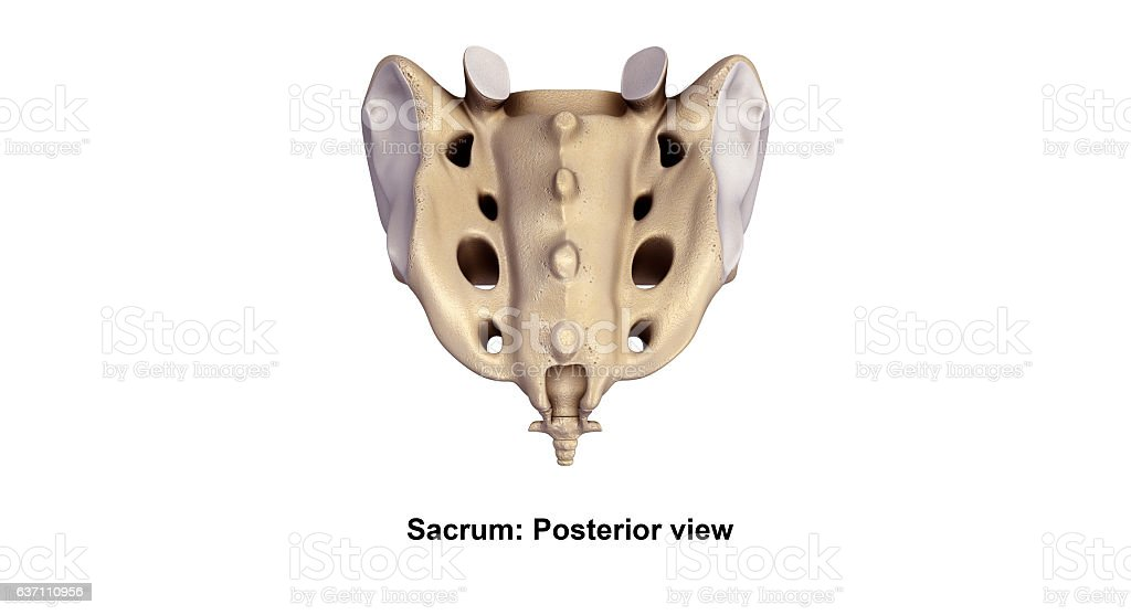 Sacrum_Posterior view stock photo