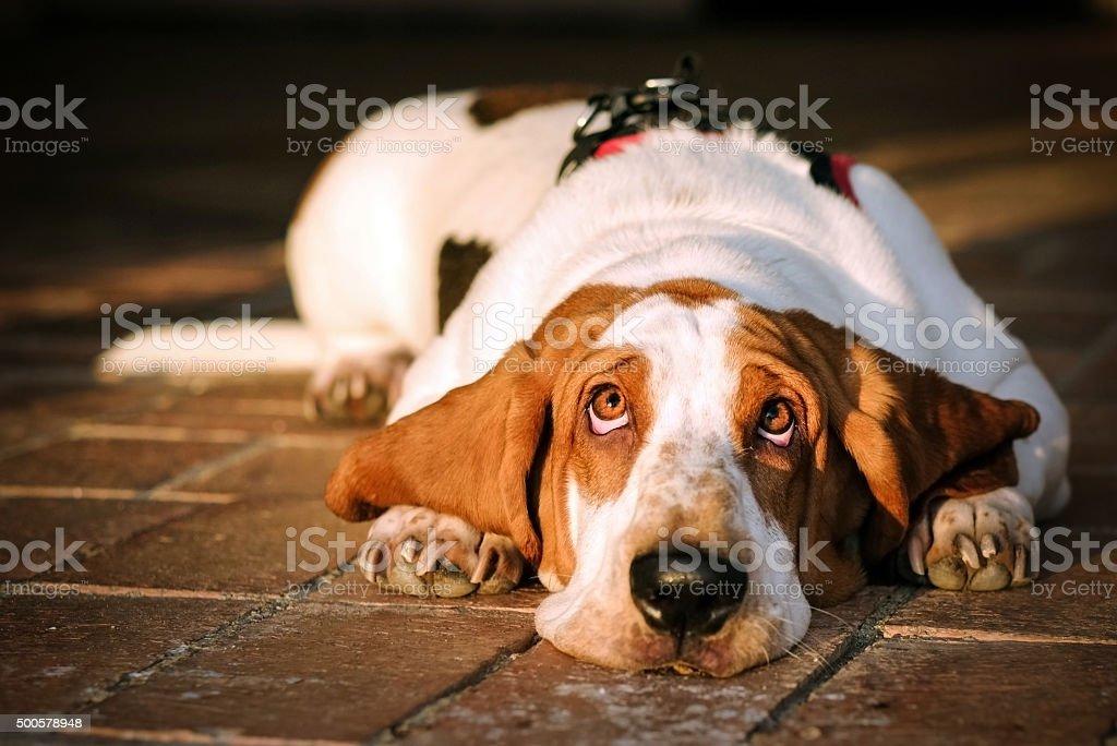 sad basset stock photo