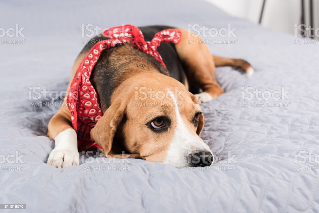 sad beagle dog in red bandana lying on bed stock photo