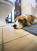 Sad beagle dog laying on a carpet in the bathroom
