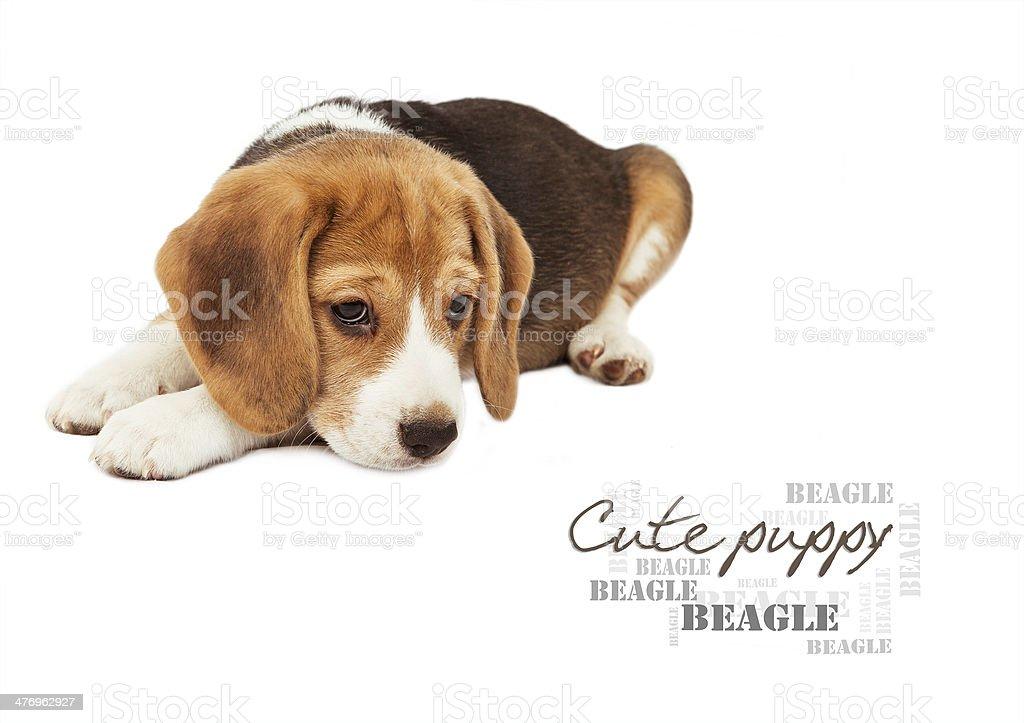 Sad beagle puppy on white stock photo