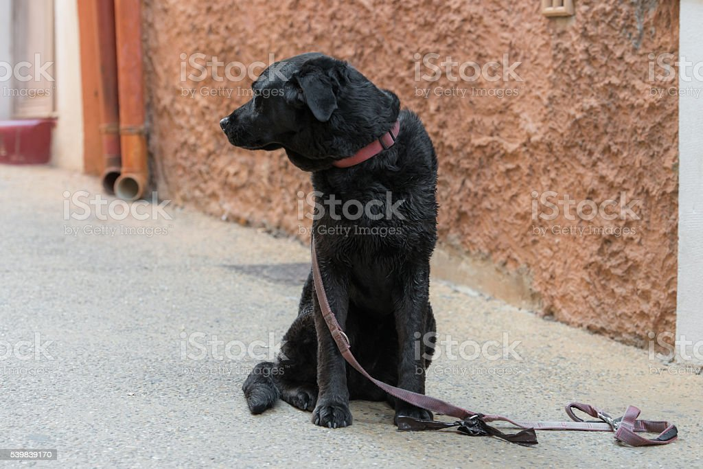 Sad black dog is looking for his lost master stock photo