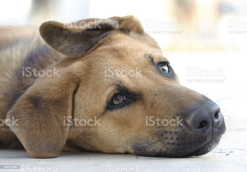 Sad brown dog lying down on floor stock photo