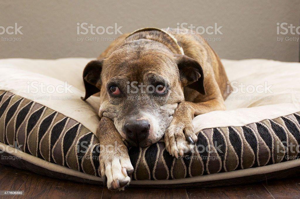 Sad Brown Dog on Bed stock photo
