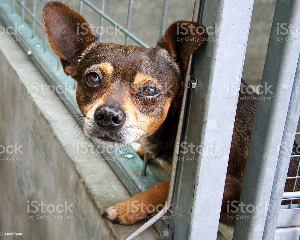 I, Sad Chihuahua stock photo