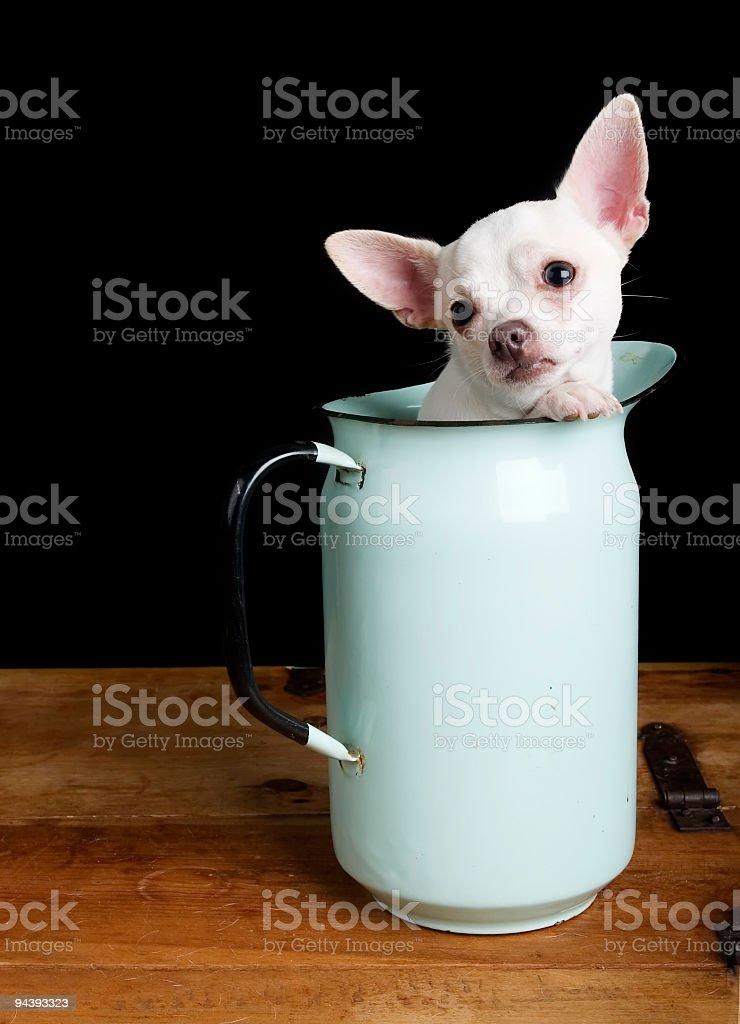 Sad Chihuahua royalty-free stock photo