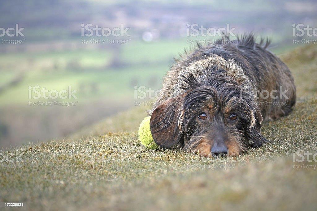 sad dachshund royalty-free stock photo