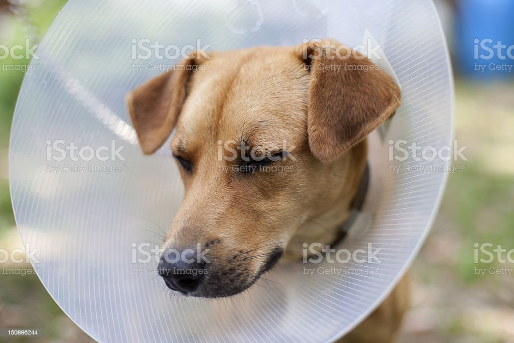 sad dog in cone royalty-free stock photo