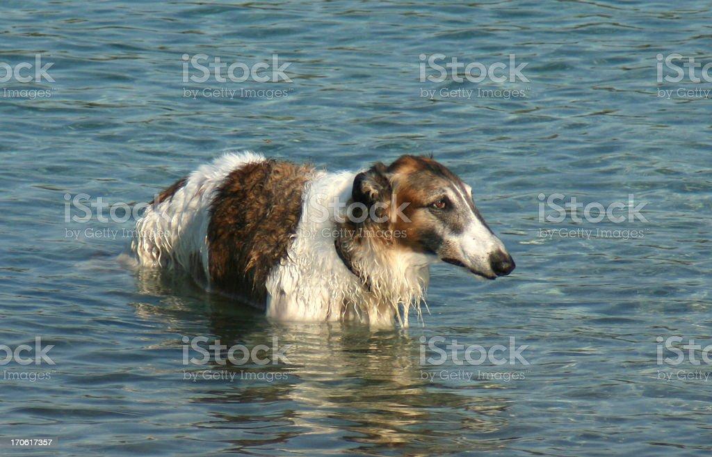 sad dog in water stock photo