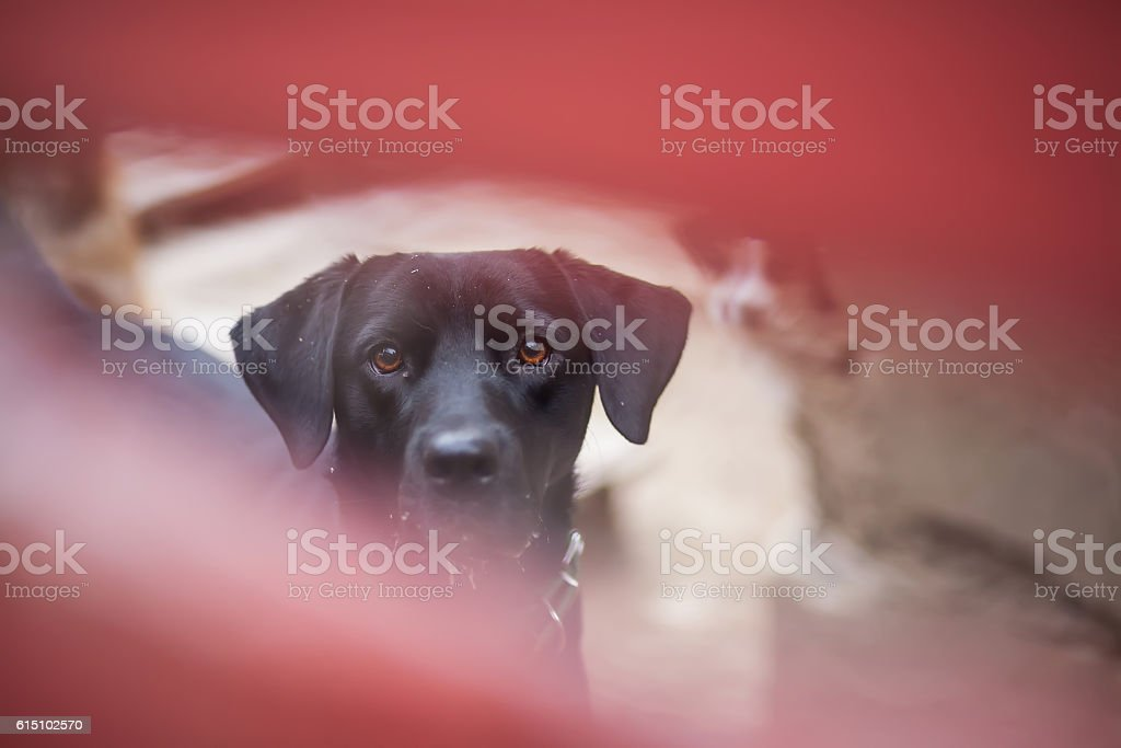 sad dog looking through a fence stock photo