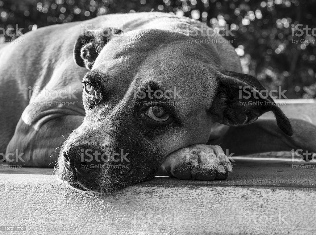 Sad dog lying down in the sun royalty-free stock photo