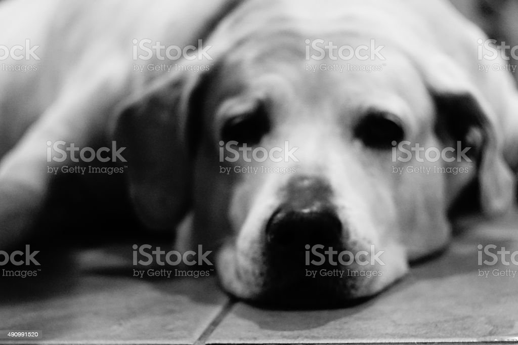 Sad Dog on the Floor stock photo
