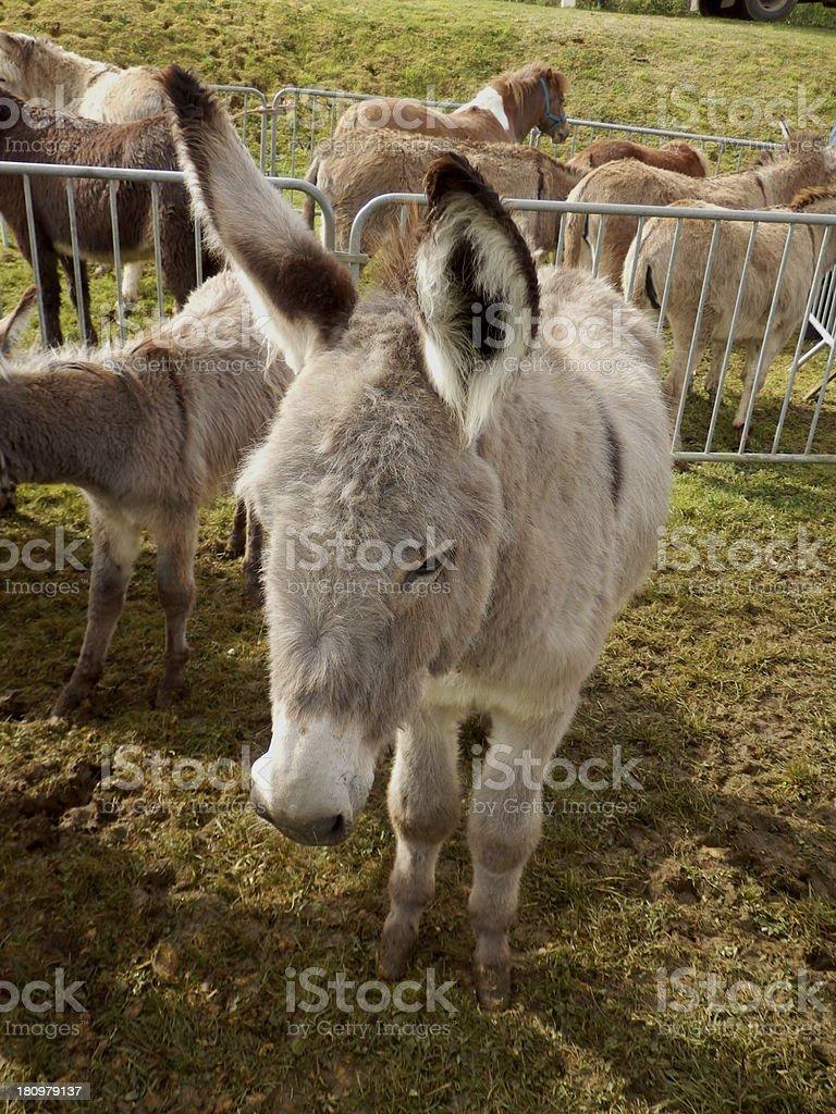 Sad donkey royalty-free stock photo