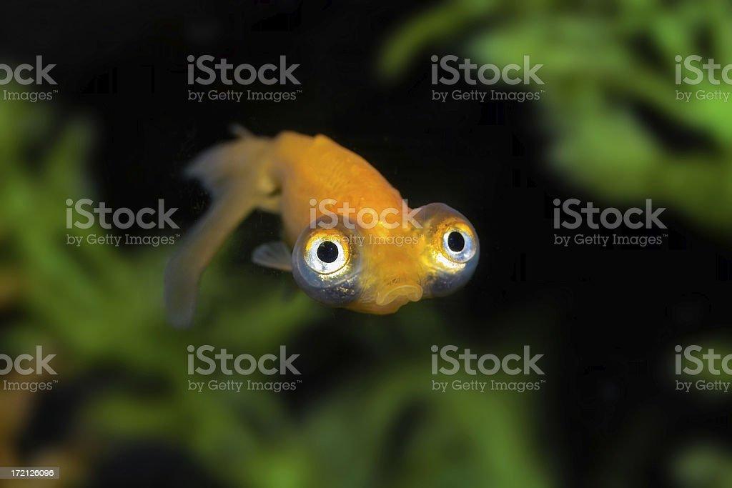 Sad Goldfish royalty-free stock photo