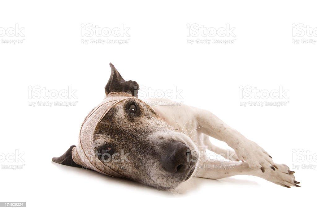 Sad Injured Dog royalty-free stock photo