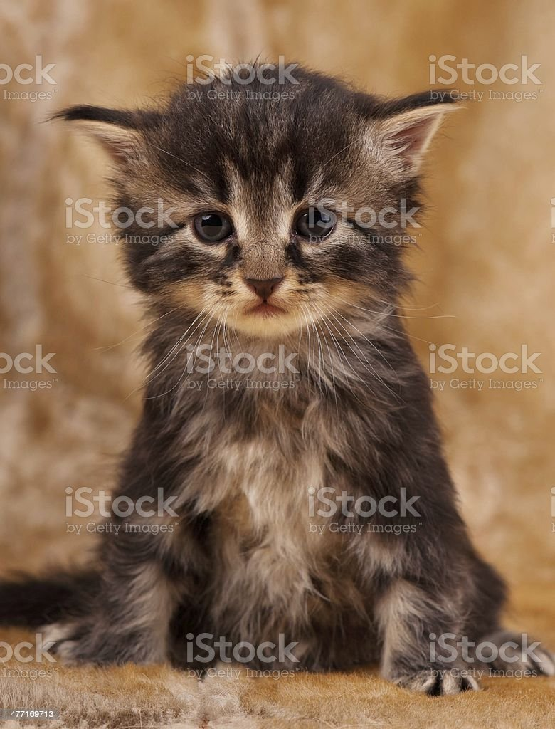 Sad little kitten sits over dirty mustard color background