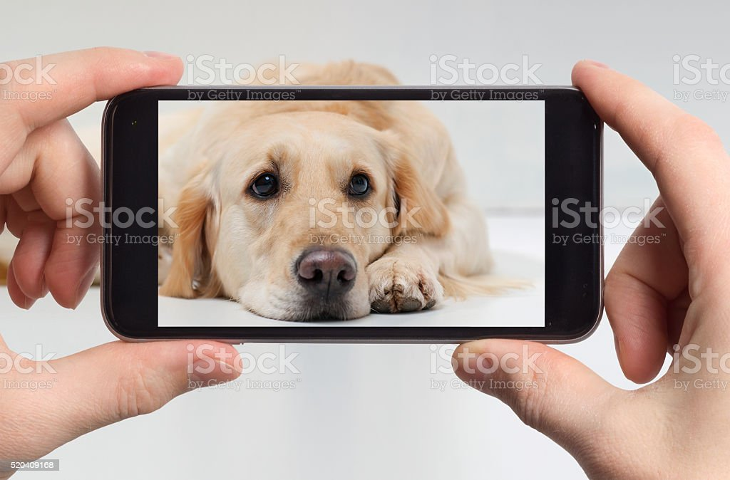 Sad labrador retriever in a mobile phone stock photo