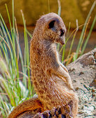 Sad, Lonely Meerkat Sitting on Log