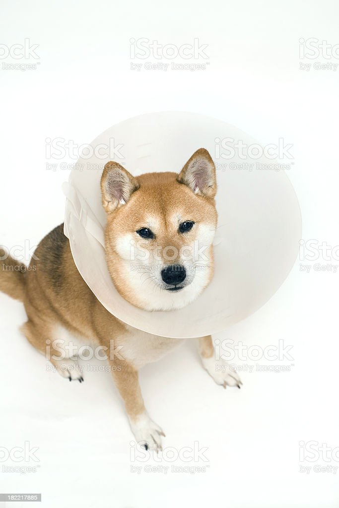 Sad looking shiba inu in elizabethan dog collar stock photo