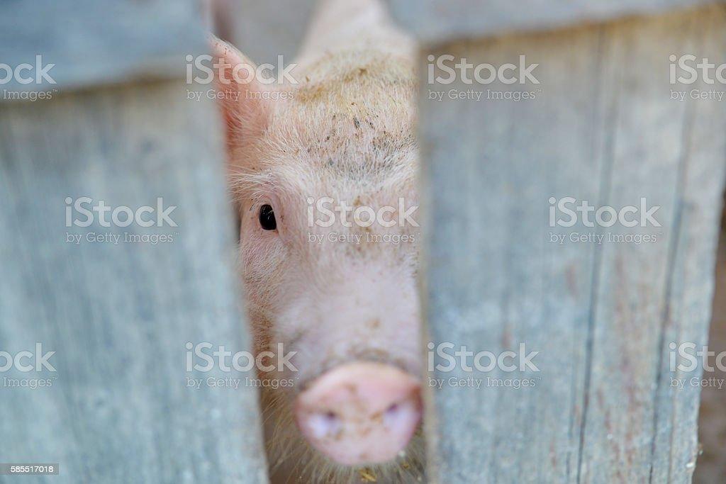 sad pig face closeup stock photo