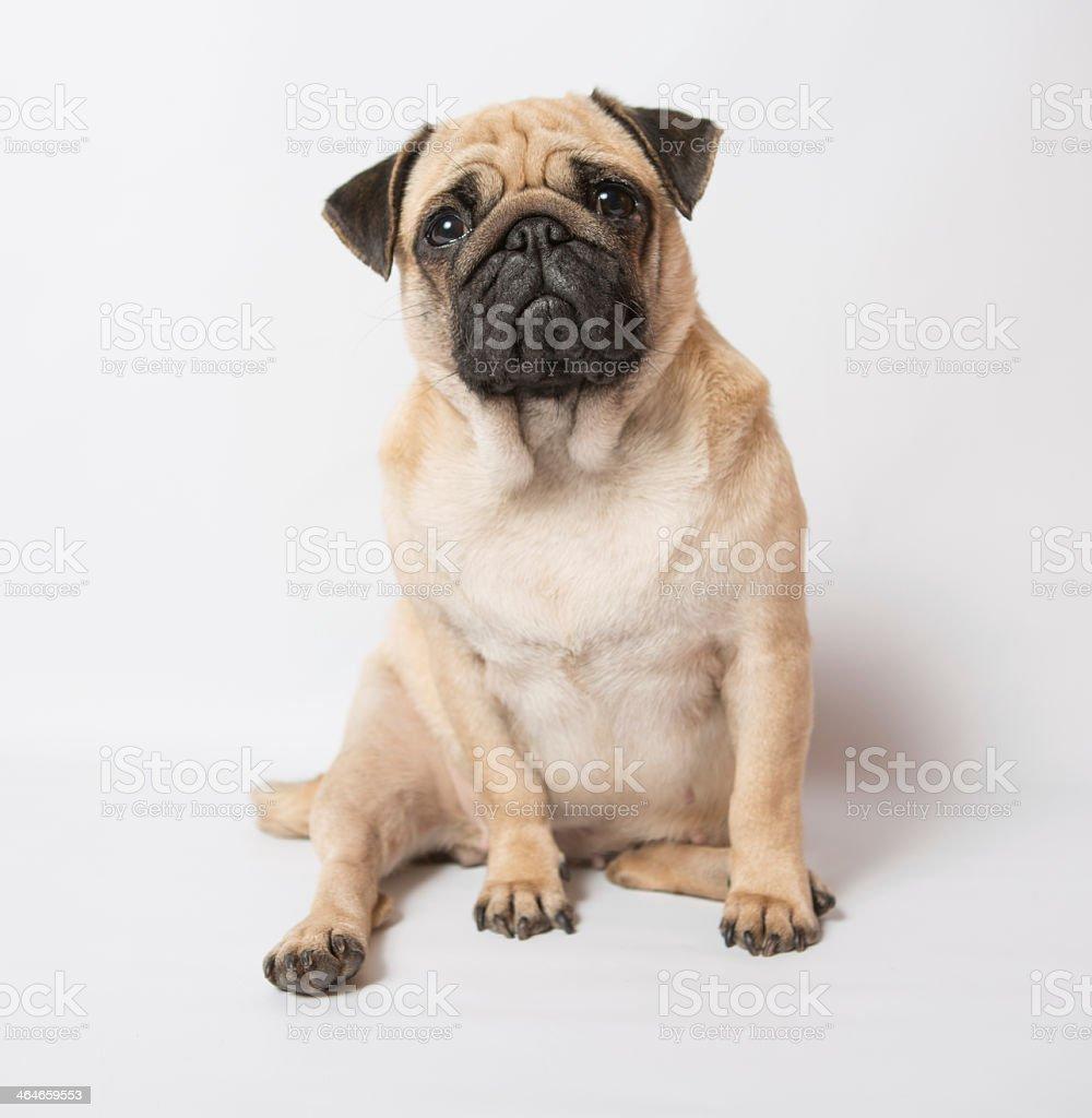 Sad pug sitting down with white background stock photo