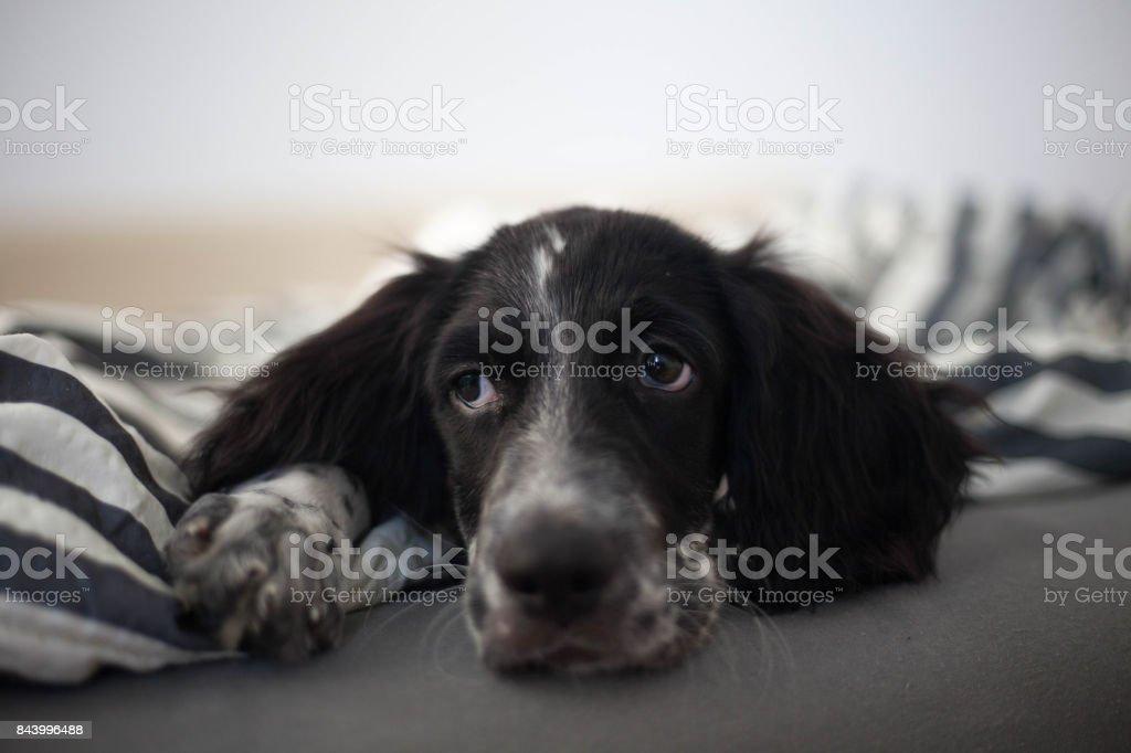 Sad puppy eyes stock photo