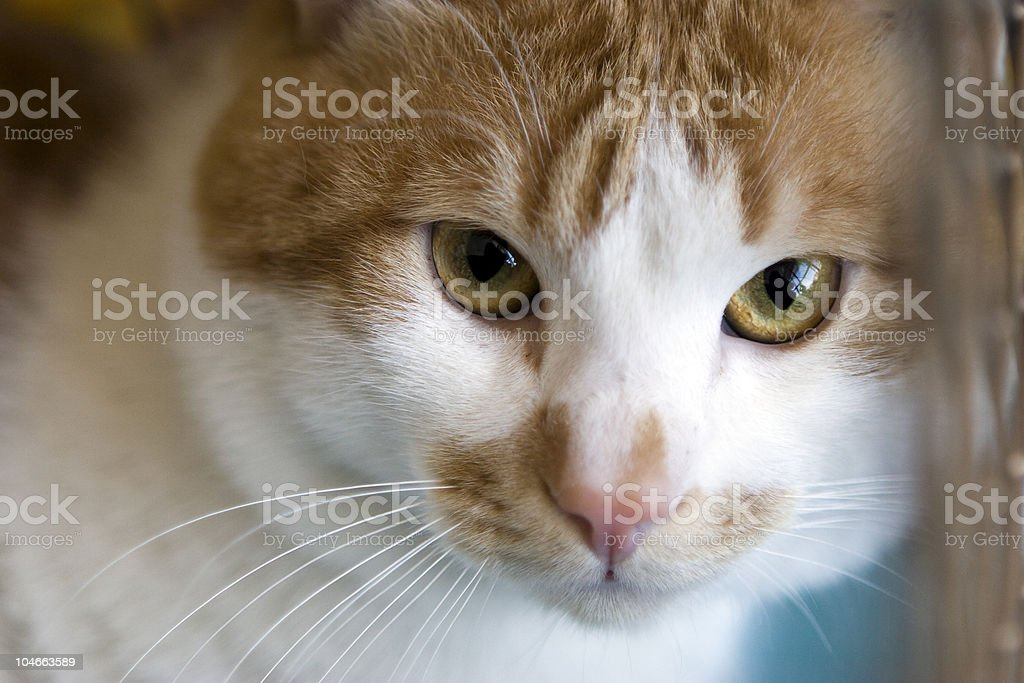 Sad red cat breeds bobtail in a cage royalty-free stock photo