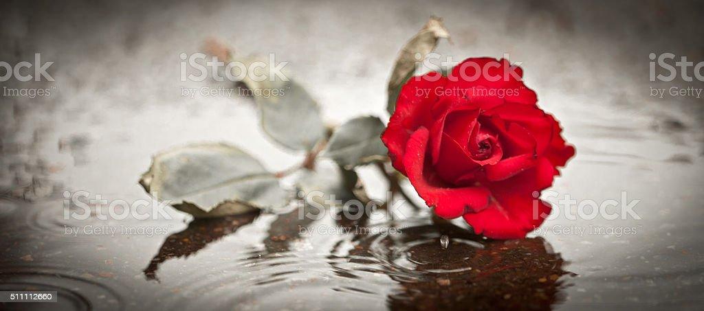 sad rose stock photo