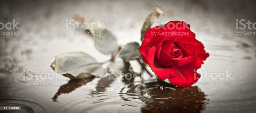 sad rose stock photo