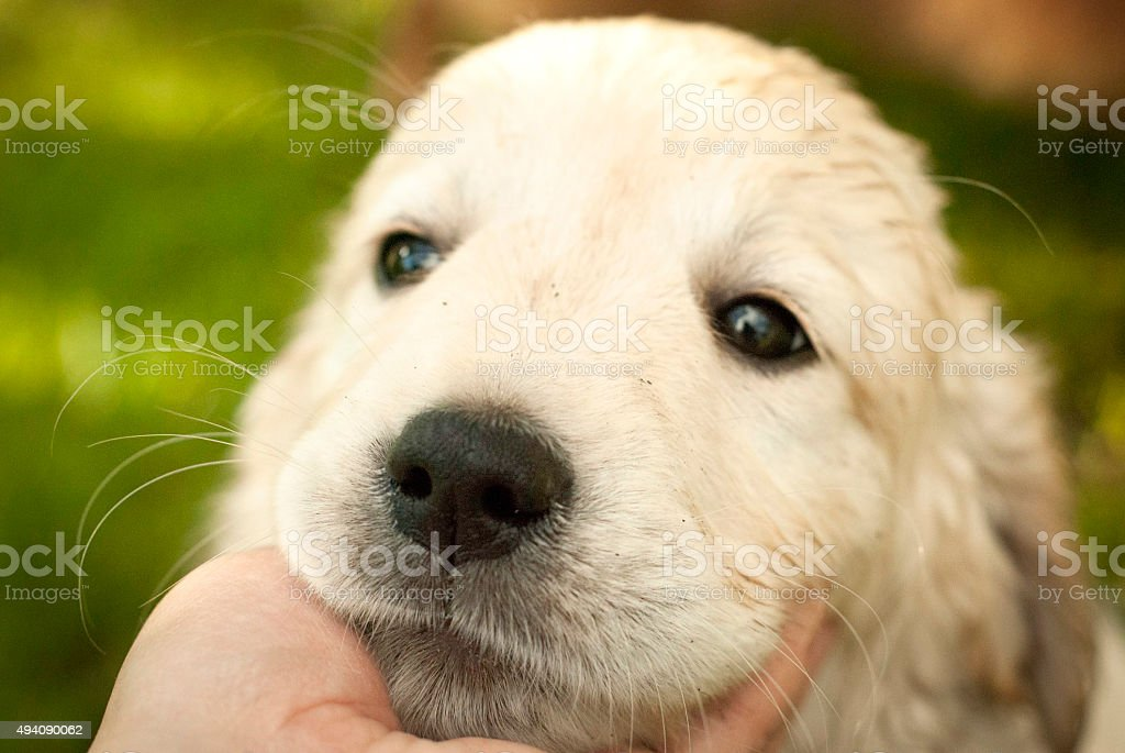 Sad snout of puppy golden retriever in a man's hand stock photo