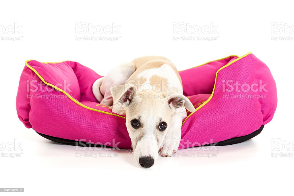 Sad Whippet Puppy in dog bed isolated stock photo