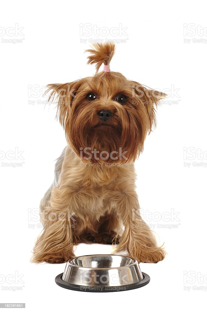 Sad yorkshire terrier with empty bowl royalty-free stock photo