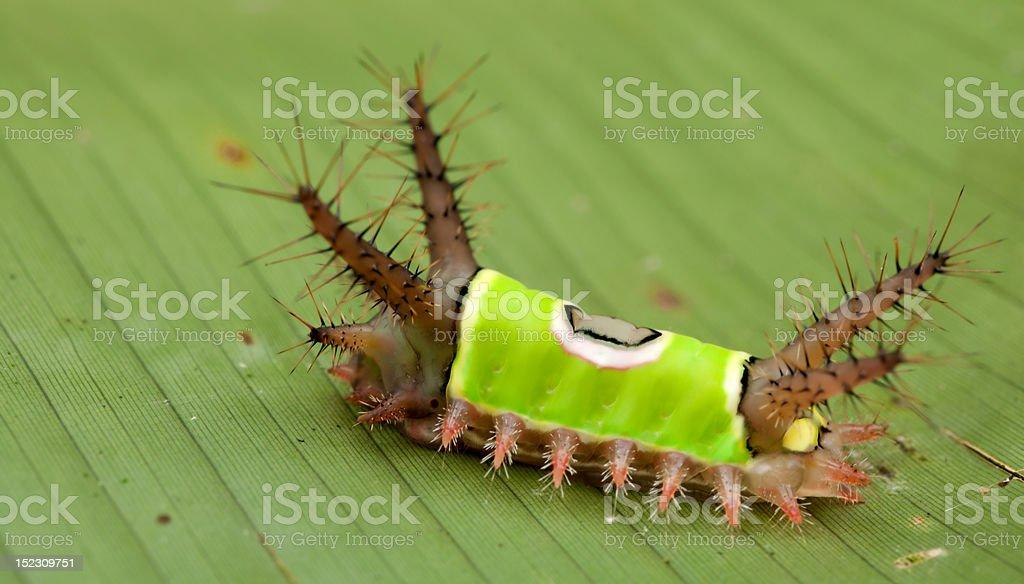 saddleback caterpillar royalty-free stock photo