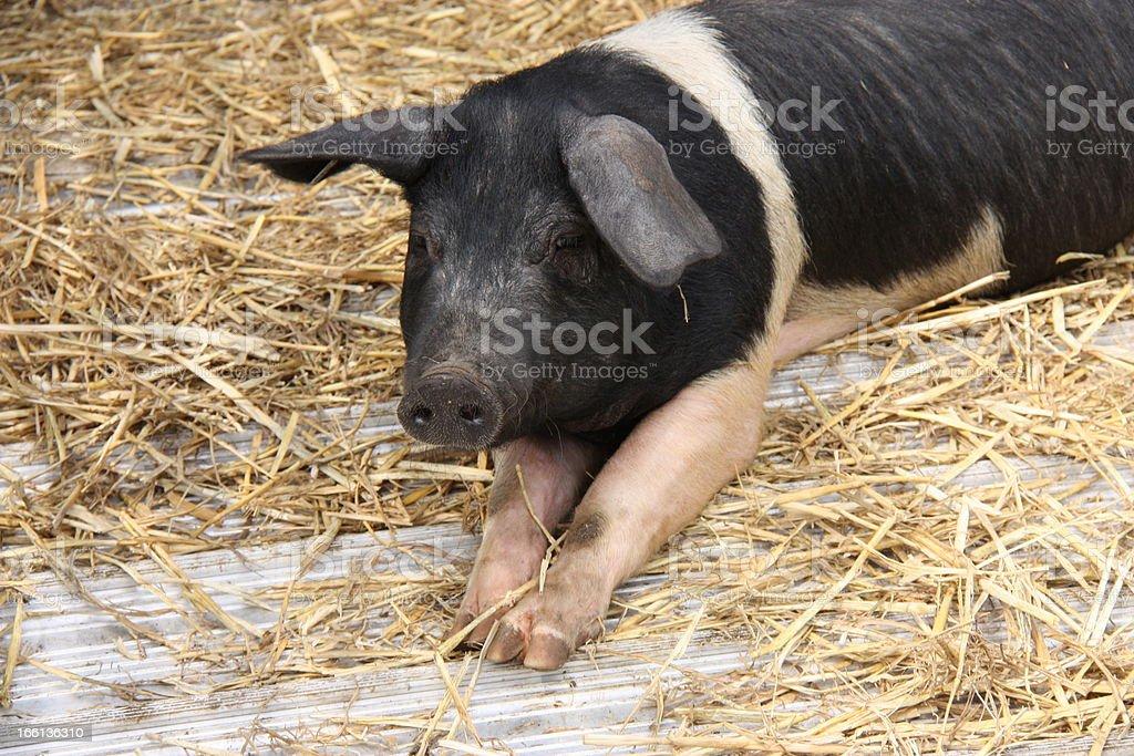 Saddleback Pig. royalty-free stock photo