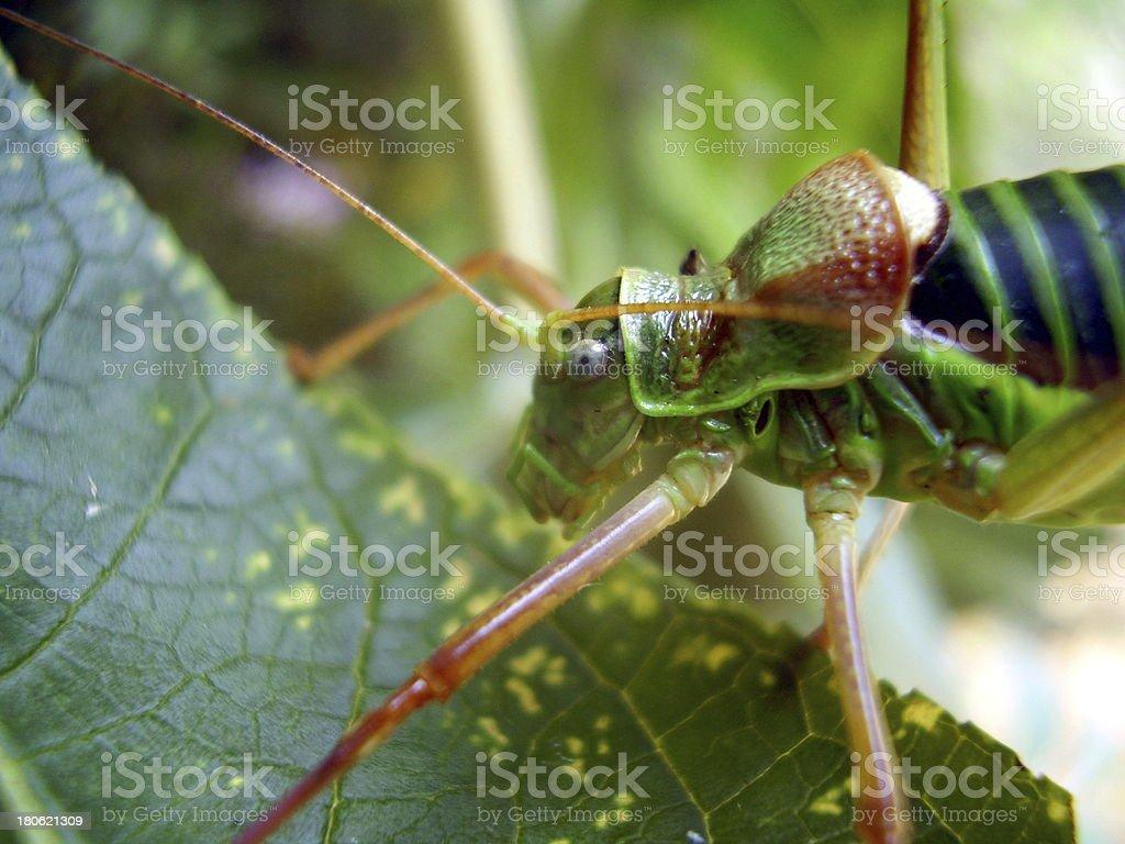 Saddle-backed Bush-cricket stock photo