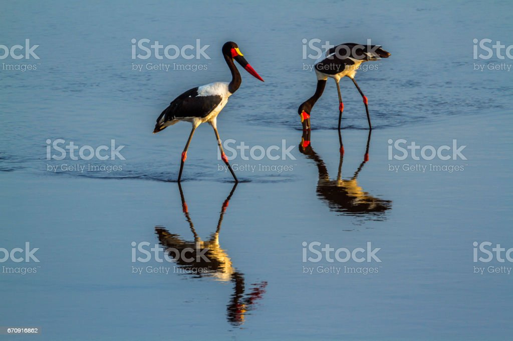 Saddle-billed stork in Kruger National park, South Africa stock photo