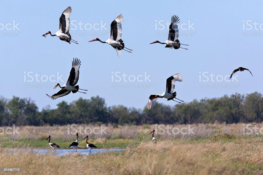 Saddle-billed Storks - Botswana stock photo