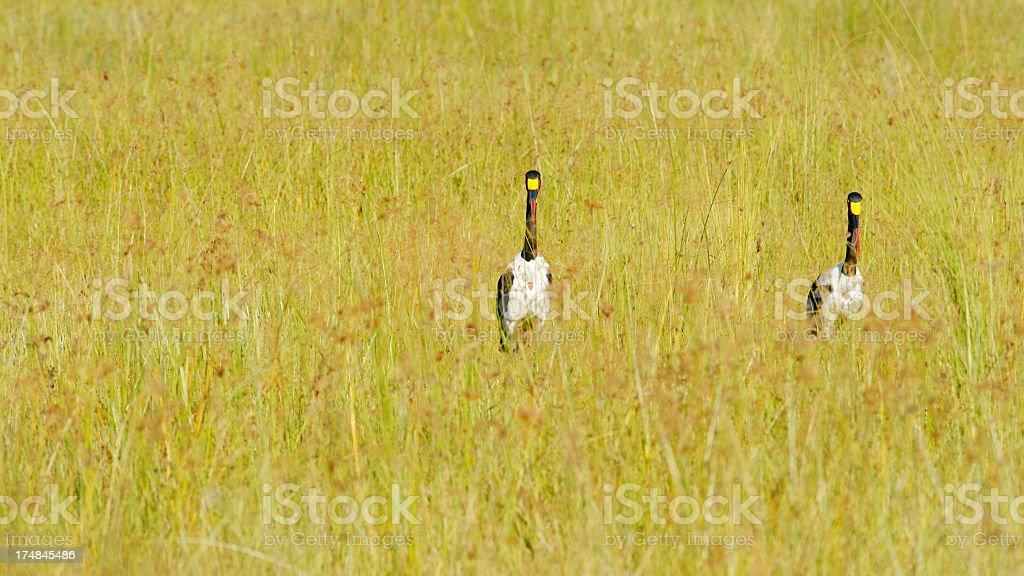 Saddle-billed storks royalty-free stock photo