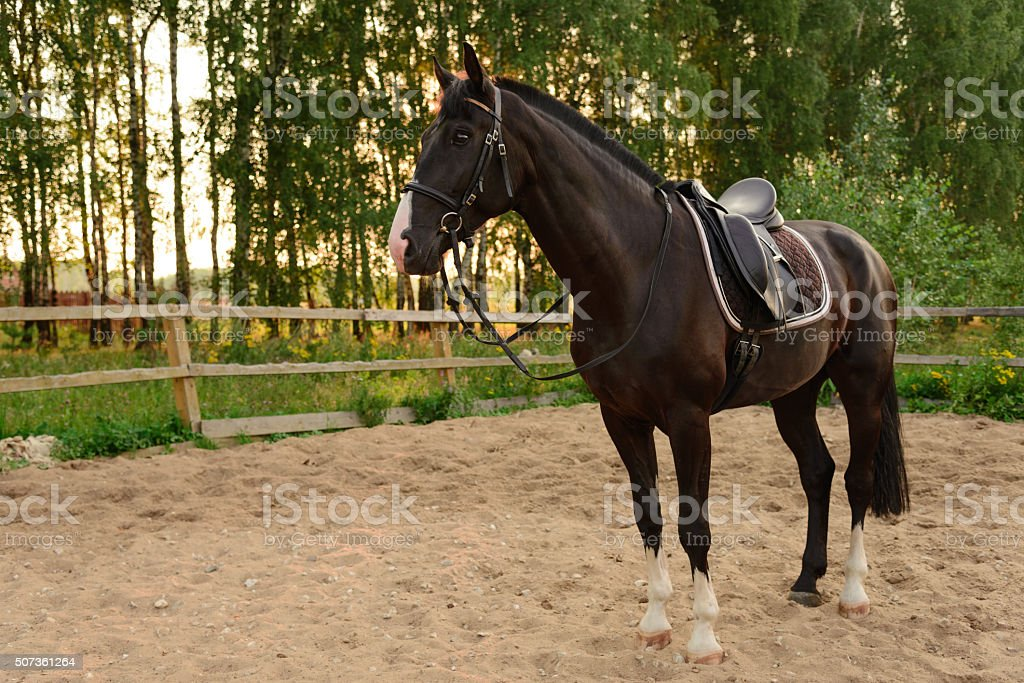 saddled horse stands on the sand stock photo