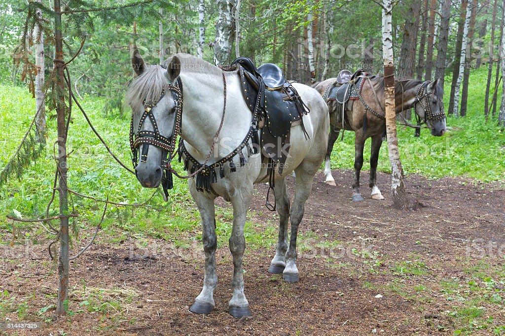 Saddled horses stock photo