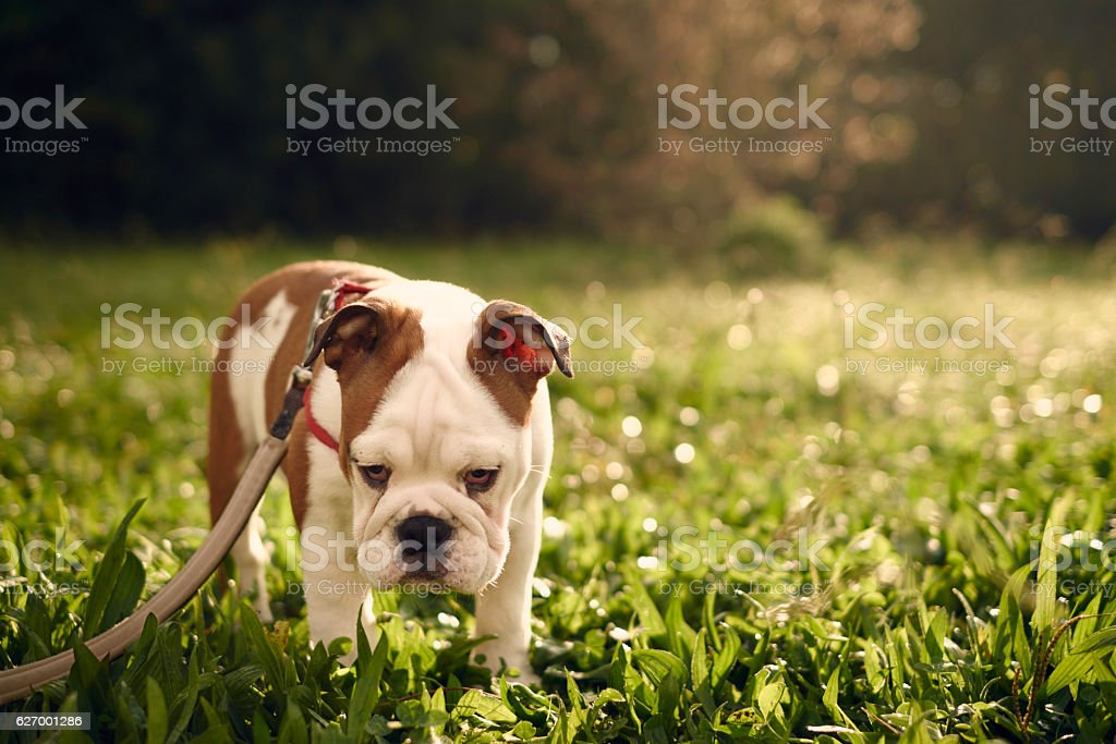 sad-looking bulldog in the park, backlit by sunlight stock photo